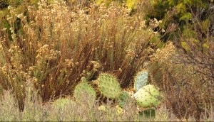 Cuesta Kato_goldenbush and prickly pear